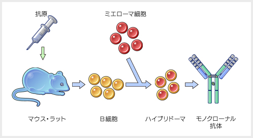 Illustration: How monoclonal antibodies are produced