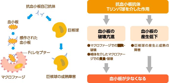 特発性血小板減少性紫斑病(ITP)における血小板減少の機序>