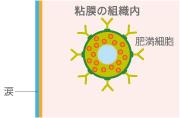 粘膜の組織内 肥満細胞